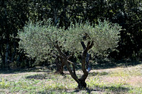 A stately olive tree