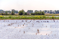 Glossy ibises in a Camargue rice paddy near Gimeaux