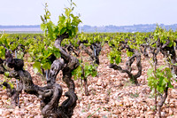 "The vines among ""galets roulés"""
