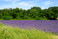 The first lavender field