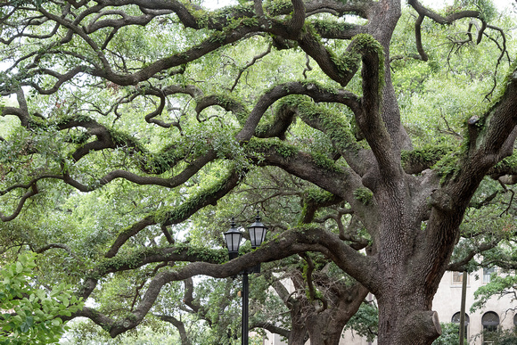 Iconic Southern Live Oaks in Reynolds Square