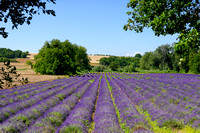 More rows of lavender