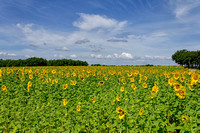 Large sunflower field