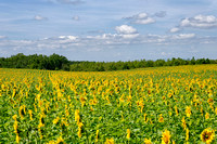 Enormous sunflower field